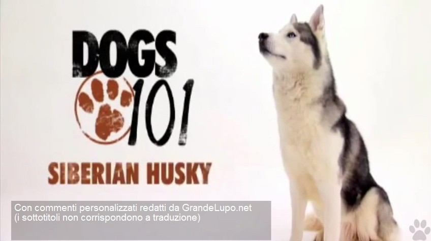 Dogs 101 - Siberian Husky con commenti in italiano